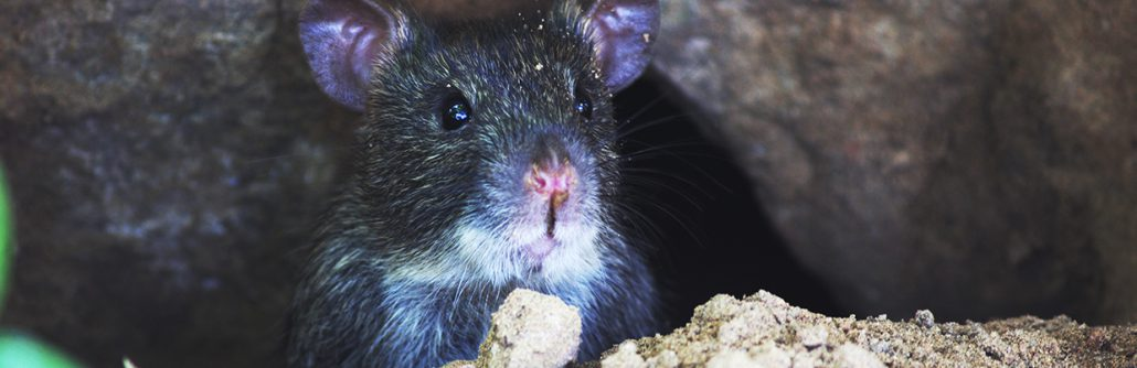 Rodent Control - Future Services - Atlanta Rodent Removal