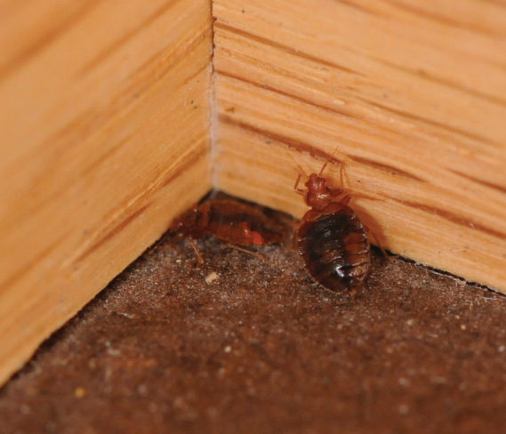 Bed Bug Exterminators - a bed bug in the corner of a room